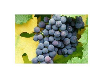 Vitis vinifera ´Kodrianka' (stolní vinná réva modrá)  Vinná réva stolní modrá 'Kodrianka'