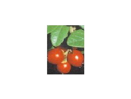 Vaccinium vitis-idea Erntesegen (brusinka)  Brusinka (brusnice) Erntesegen