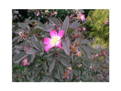 Rosa glauca  Růže sivá