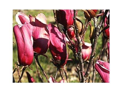 Magnolia liliflora Nigra  Šácholán liliokvětý Nigra