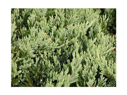 Juniperus horizontalis ´Blue Chip´  Jalovec polehlý ´Blue chip´