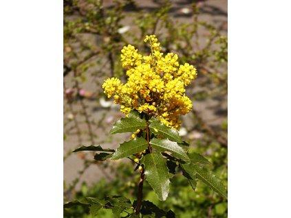 Mahonia aquifolium  Mahónie cesmínolistá