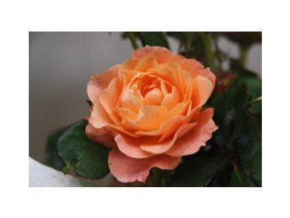 Růže stromková - oranžová, kontejnerovaná!