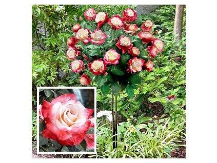 Růže stromková - červeno - bílá, kontejnerovaná!