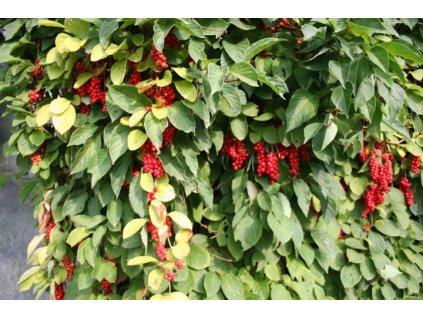 Schisandra Chinensis (Klanopraška čínská)  Klanopraška čínská