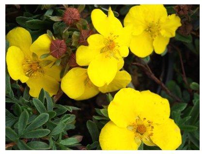 Potentilla fruticosa 'Goldstar'  Mochna křovitá 'Goldstar'