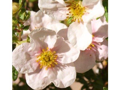 Potentilla fruticosa Pink Queen  Mochna křovitá Pink Queen