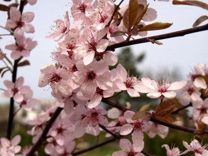 Prunus cerasifera ´Nigra´  Myrobalán třešňový ´Nigra´