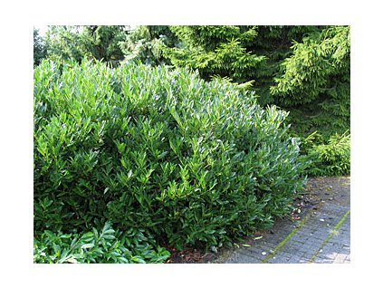 Prunus laurocerasus ´Otto Luyken´  Bobkovišeň lékařská ´Otto Luyken´