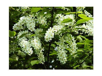 Prunus padus  Střemcha obecná