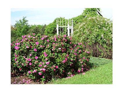 Rosa rugosa  Růže svraskalá