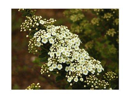 Spiraea nipponica ´Snowmound´  Tavolník niponský ´Snowmound´