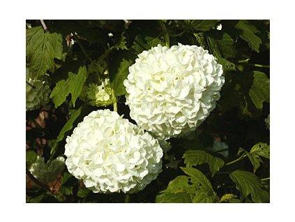 Viburnum opulus Roseum  Kalina obecná Roseum