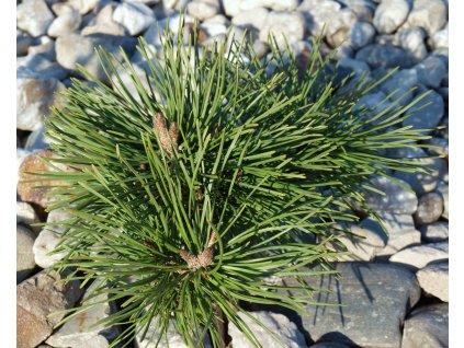 Pinus mugo pumilio  Borovice kleč pumilio
