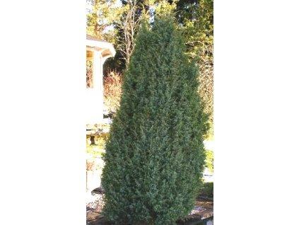 Juniperus communis 'Suecica'  Jalovec obecný 'Suecica'