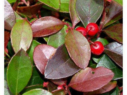 Gaultheria procumbens 'Big Berry'  Libavka polehlá 'Big Berry'