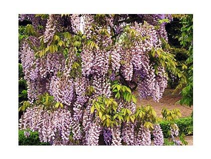 Wisteria sinensis 'Prolific'  Vistárie čínská 'Prolific'
