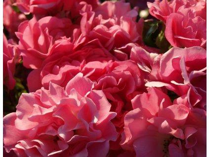 Rosa Lovely Fairy - pokryvná  Růže pokryvná Lovely Fairy
