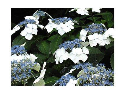 Hydrangea macrophylla ´Veitchii´  Hortenzie velkolistá ´Veitchii´