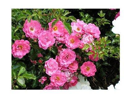 Rosa Heide Traum - pokryvná  Růže pokryvná Heide Traum