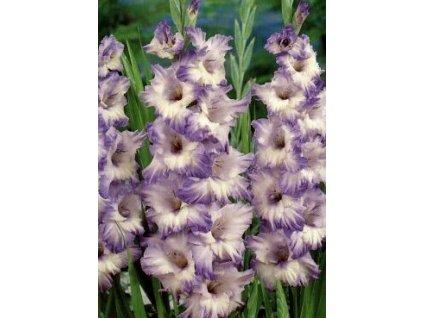 Gladiolus Blue Frost (10 ks)  Mečík Blue Frost