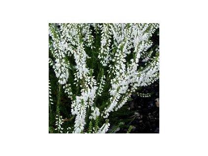 Calluna vulgaris 'Alba' - bílá  Vřes obecný 'Alba'