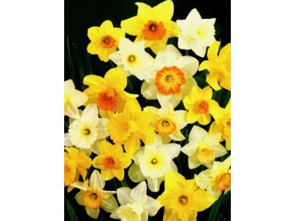 Narcissus - směs velkokorunných barev (5 ks)  Narcis velkokorunný - směs barev