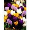 Crocus - směs velkokvětých barev (10 ks)  Šafrán (Krokus) velkokvětý - směs barev