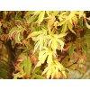 Acer palmatum ´Butterfly´  Javor dlanitolistý ´Butterfly´