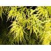 Acer palmatum ´Shishigashira´  Javor dlanitolistý ´Shishigashira´