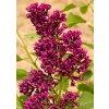 Syringa vulgaris ´Congo´  Šeřík obecný ´Congo´