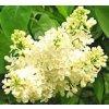 Syringa vulgaris ´Madame Lemoine´  Šeřík obecný ´Madame Lemoine´