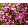 Weigela florida 'Purpurea'  Vajgélie květnatá 'Purpurea'