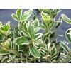 Euonymus fortunei 'Emerald Albus'  Brslen žlutopestrý 'Emerald Albus'