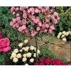 Růže stromková - růžová, kontejnerovaná!