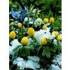 Eranthis hyemalis (10 ks)  Talovín zimní