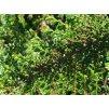 Cotoneaster horizontalis  Skalník vodorovný
