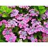 Hydrangea macrophylla ´Nikko Blue´  Hortenzie velkolistá ´Nikko Blue´