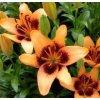 Lilium Apricot Pixels (2 ks)  Lilie Apricot Pixels
