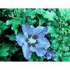 Hibiscus syriacus 'Blue Bird'  Ibišek syrský 'Blue Bird'