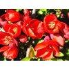 Chaenomeles speciosa 'Grandiflora'  Kdoulovec lahvicovitý 'Grandiflora'