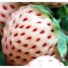 """Jahodník PINEBERRY - jahody s chutí ananasu!!!  Fragaria Pineberry """"Ananasové jahody"""""""