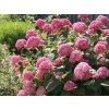 Hydrangea arborescens 'Pink Annabelle'  Hortenzie stromečková ' růžová Annabelle'