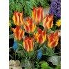 Tulipa Greigii California Sun (8 ks)  Tulipán Greigii California Sun