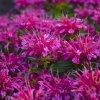 Monarda didyma ´Purple Troja´  Zavinutka purpurová