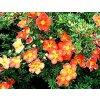 Potentilla fruticosa ´Red Ace´  Mochna křovitá ´Red Ace´