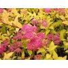 Spiraea japonica ´Goldflame´  Tavolník japonský ´Goldflame´