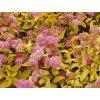 Spiraea japonica 'Goldenmount'  Tavolník japonský 'Goldenmount'