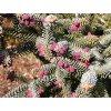Abies pinsapo ´Glauca´  Jedle španělská ´Glauca´