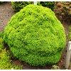 Picea glauca ´Alberta Globe´  Smrk sivý ´Alberta Globe´